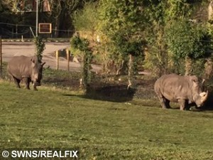 Collect photo of Rhinos at West Midlands Safari Park that  Vicky Liggins took on her phone before her Mitsubishi Warrior was damaged when a charging Rhino smashed into the vehicle, while with her 19 month old daughter Evelyn.  February 24, 2015.  A young mum told yesterday (Tue) how a horn-y RHINO caused  of damage when it smashed into her car after mistaking it for a MATE.  See NTI story NTIRHINO.  Vicky Liggins, 26, feared for her life when the three tonne beast started charging towards her Mitsubishi Warrior.  The white rhino caused  worth of damage in the horrifying attack by smashing a back light  and crumpled the rear of the car as well as leaving dents to the driver's side.  A park ranger came to the rescue but incredibly the angry rhino even gave chase as Vicky drove away with her screaming 19-month-old daughter Evelyn in the car.  West Midland Safari Park has now apologised to the bank worker and sent her £250 as a goodwill gesture.  But yesterday (Tue), Vicky, from Halesowen, West Mids., blasted the attraction and said bosses should erect barriers to prevent rhinos wandering in front of vehicles.
