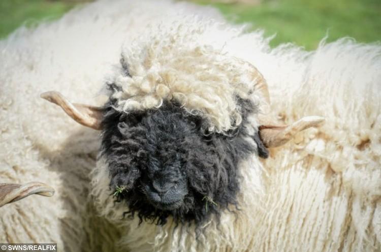 SWNS_CUTE_SHEEP_15