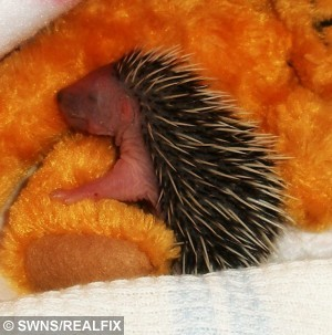 A tiny baby hedgehog had a prickly start to life after he was found abandoned just minutes after his birth - with his UMBILICAL CORD still attached. See Ross Parry copy RPYHEDGEHOG : Tiny Tom Thumb even still had blood on his nose from birth when he was discovered by a curious cat in a garden in Ripon, North Yorks. The adorable bundle of spikes was all alone after being abandoned by his mother, but has now recovered from his ordeal. Tom Thumb, so called because he is so tiny, was taken to Whitby Wildlife Sanctuary and is being hand-reared by staff who are at his beck and call through the day and night.