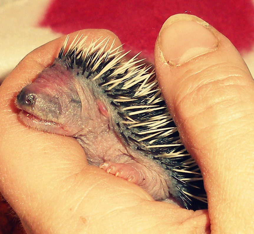 Meet Tom Thumb! The tiny abandoned hedgehog brought back from the brink