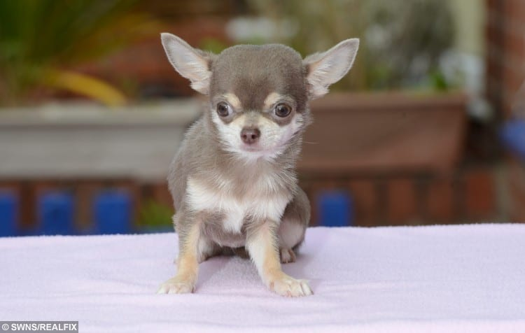 Meet the UK's smallest dog - a fully-grown Chihuahua named Bibity Bobity Boo. See Ross Parry Copy RPYDOG :  The tiny pooch stands at less than three inches high and weighs less than a bag of sugar. But her size astonishes owners Ron and Susan Lingham, who don't believe they've even seen a dog so small.  Thomas Temple/rossparry.co.uk