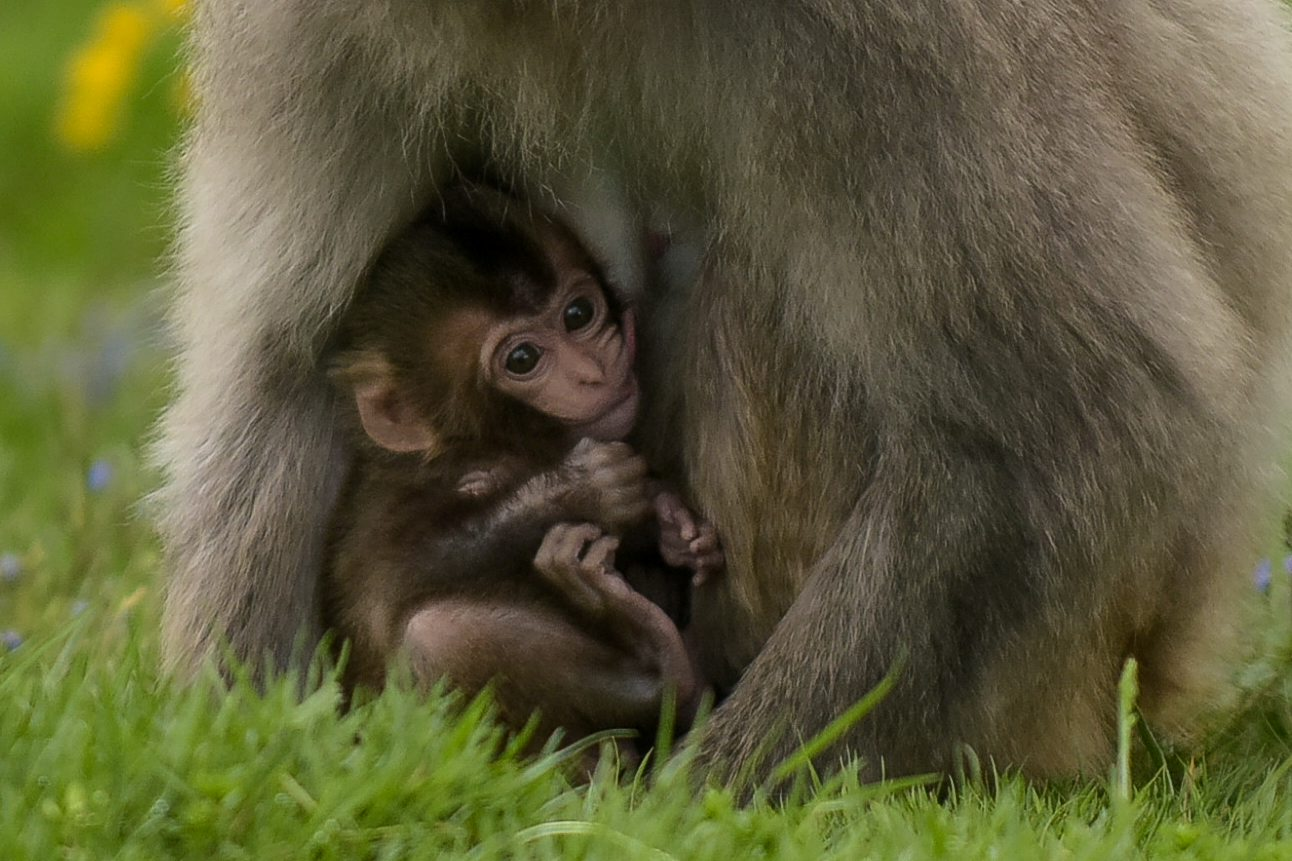 Cute alert! Check out these adorable newborn snow monkeys