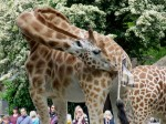 The incredible moment a baby giraffe was born in front of amazed zoo visitors!