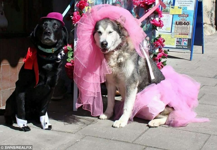 Pampered pooches Pagan and Anoushka on their wedding day. See SWNS story SWDOG: Two rescue pets have been joined in mutt-rimony with the world's first pagan wedding - for DOGS. Dog-lover John Awen met partner Pink Ali, both 45, and they instantly clicked - but worried their dogs wouldn't get on. However John's black Labrador, named Pagan, and Pink's Alaskan malamute called Anoushka fell in love at first sniff, and soon became inseparable. They bounded down the aisle in a 'paw fasting' ceremony - based on the Pagan tradition of hand fasting where a couple declare a binding union for each other.