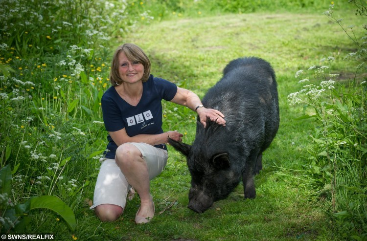 NO ONLINE USE BEFORE 3PM. Julia Marsh age 56 with Chops the mircopig age 5. Julia's son was given Chops the micropig five years ago but now he weighs 22 stone he used to live in the house but has been banished after destorying two sofas and wrecking the kitchen. See SWNS story SWHOG; A mum is being eaten out of house and home after her trendy 'micro' pig ballooned into a 22 stone beast - that ate her SOFAS. Julia Marsh, 56, is at the end of her tether after pet Chops, who was meant to never grow bigger than a small dog, ballooned to a whopping 22 stone. Hefty hog Chops is now forced to live in the garden, because he keeps getting into kitchen cupboards and eating everything in sight - including guzzling a gallon of cooking oil. Julia now shares her five bedroom house in Wingfield, Beds., with fatso Chops, and her four children John, 23, William, 22, Maggie, 20, and Jacob, 17.