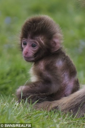 Aimi, a Japanese macaque, is seen with her as yet unnamed baby at the Highland Wildlife Park near Aviemore, Scotland on June 26 2015. The young snow monkey is part of a trio of babies at the park. The new babies have been born over the last two months, with the first arriving at the end of April and the most recent at the beginning of June. The troop of macaque monkeys at RZSS Highland Wildlife Park now consists of a total of 24 individuals