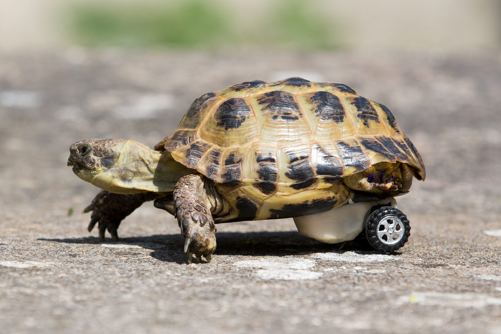 A disabled tortoise has his owners in a spin after being fitted with HOTWHEELS