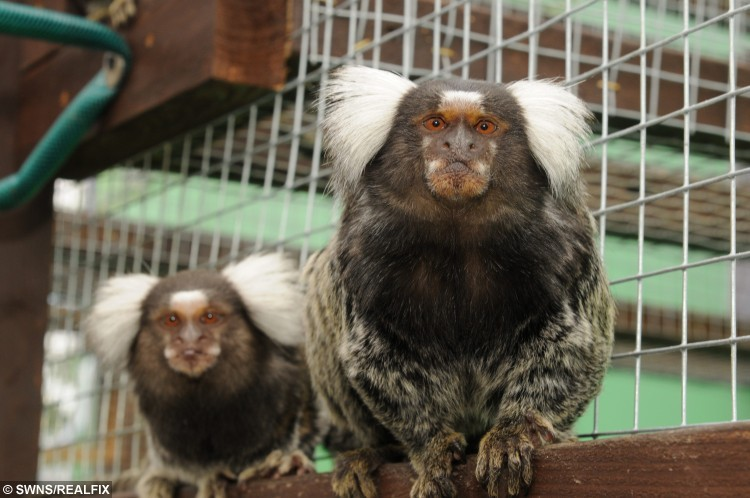 Marmoset monkeys at The Fenn Bell Inn, St Mary Hoo, Kent. See MASONS story MNZOO: A couple have turned their pub's beer garden into a mini zoo, complete with monkeys, parrots, racoons and a pig with arthritis. Andy and Kelly Cowell took over the 17th century Fenn Bell Inn last December when they saved it from closure. They previously ran a farm with around 200 animals and transferred many of them to the pub in St Mary Hoo, Kent. They have now opened the first zoo in the area with a collection of animals including  marmosets, squirrel monkeys, a coati and a south American raccoon. Others include kunekune pigs, great grey owls, geese, chickens and they are hoping to move some macaws in soon.