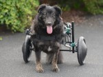 Wheely Great Walkies! Murphy get his very own doggy wheelchair