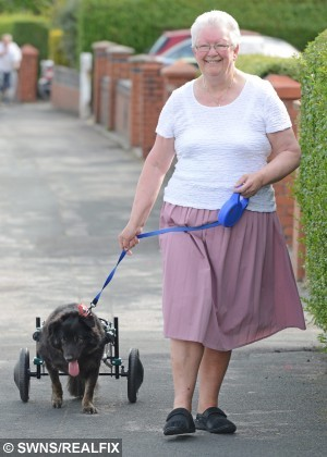 """Pictured -Murphy the dog . See Ross Parry Copy RPYDOG : A dog with bad legs is feeling wheely-fine after being given a new leash of life with his own - WHEELCHAIR. Murphy the collie cross, three, struggled to walk after his kneecaps detached from his legs, forcing him to drag himself along in a heartbreaking fashion. But he's been given some new """"legs"""" in the form of a doggy wheelchair, which allows him to scoot around to his hearts content. Thomas Temple/rossparry.co.uk"""