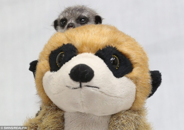 Four meerkat pups who were abandoned by their mother have found comfort in a meerkat  soft toy which they cuddle up to. See Ross Parry copy RPYMEERKATS. The Meerkats at Willow Tree Farm are being looked after by director David Taylor, 29 of Shirebrook, Mansfield. Tom Maddick / Rossparry.co.uk