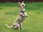 'Kangaroo' dog has his own way of getting around – by HOPPING