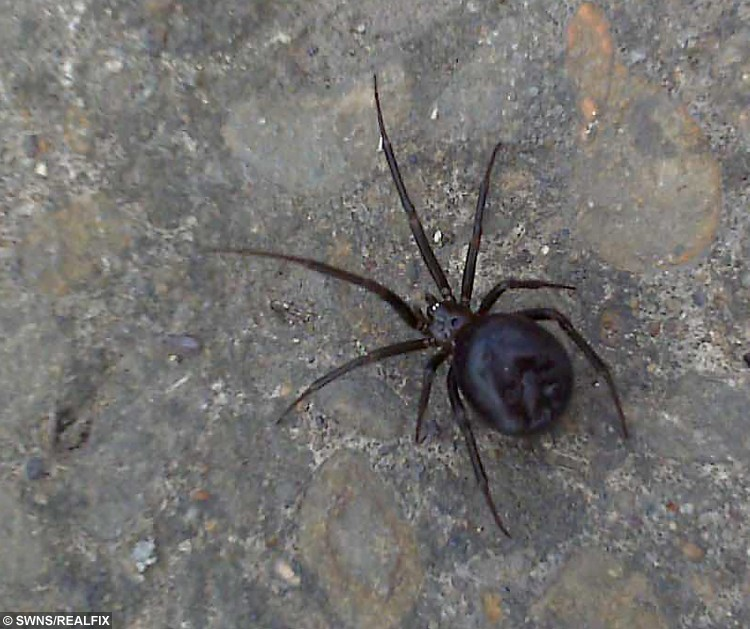 File photo of a false widow spider. A mum-of-four nearly lost her leg when she was bitten by BritainÃs most venomous spider when she climbed into bed. See swns story SWBITE. Aideen Hynes. 34, was getting into bed when she felt a sharp pain in her left leg after the False Widow sank its fangs into her calf. She leapt out of bed and threw back the covers but couldnÃt see the offending spider which had scurried away after the unprovoked attack. But the venom in the bite quickly spread up her leg and behind her knee causing instantaneous swelling. Aideen, from County Down, NI, who used to run a reptile shop, says: ÃI felt something crawling on my leg under the duvet and tried to brush it offà ÃIt must have thought it was under attack because the next minute it bit me. The pain was agonising. Now a month later and after  four courses of anti-biotics and going the GPs every day for three weeks to have the wounds cleaned and redressed. She says: ÃItÃs finally getting better now, but for a while it was touch and goà ÃDarrin (Husband) eventually caught the spider and set him free on a field behind our house.Ã
