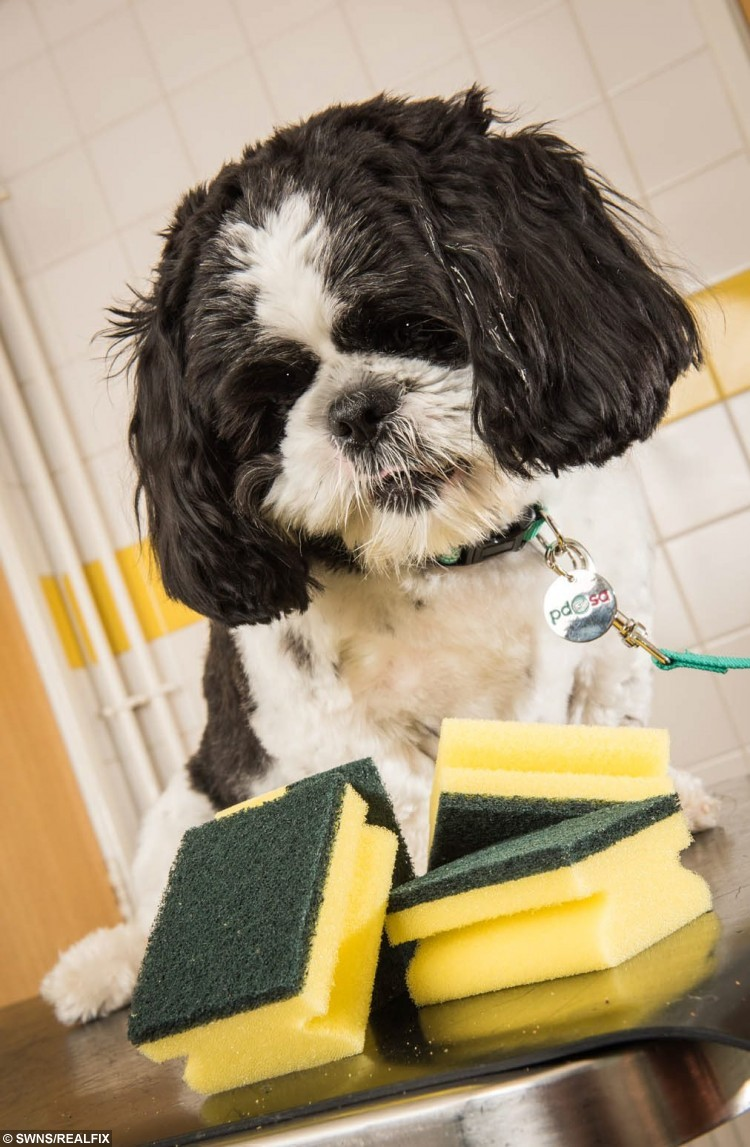 Alfie the dog beside a kitchen sponge smiliar to the one he ate. See SWNS story SWSPONGE; A dog had his life saved by vets after swallowing - a whole kitchen SPONGE and scourer. Little Alfie, a 20 month old Shih Tzu,  was keeping his owner Maria Bird, 53, company as she cleaned the bathroom. He grabbed a clean sponge from the packet and swallowed it whole. The tiny pooch seemed fine but concerned owner Maria knew it could cause him some serious harm.