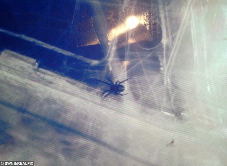 A picture of the young black widow spider, which Jamie Swinney, 67, from Warwick found in a bunch of red grapes he purchased from a local Aldi Supermarket on Queensway in Leamington Spa. Jamie managed to trap the spider in the punnet wrapping it in cling film.  A unsuspecting pensioner was left shocked after he found a deadly black widow spider - crawling in a bunch of Aldi grapes.  See NTI story NTIGRAPES.  Jamie Swinney, 67, reached for a handful of red grapes he had bought from the supermarket when he spotted a black and red insect wriggling in the punnet.  The stunned grandfather recognised the infamous creepy crawly at once, grabbed some clingfilm and wrapped up the lethal critter before dialling 101.  Police called Nuneaton and Warwickshire Wildlife Sanctuary boss Geoff Grewcock, who rushed over, confirmed it was the killer arachnid and took it away.