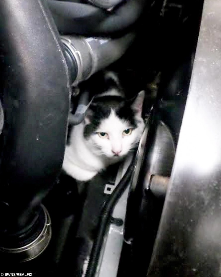 This tabby cat survived a 150-mile journey stuck in a car engine compartment after trying to avoid the rain. See News Team story NTICAT; Darcy is thought to have hidden in the Mercedes Benz and become stuck under the hood, the RSPCA said. The owner of the car then did a round trip from Cannock to Manchester and discovered an engine warning light flashing on their dashboard after the trip on August 1. Staff at the Fix Auto in Crossfield Industrial Estate, Lichfield, couldn't spot any signs of engine trouble but after taking it for a test drive, they noticed a burning smell.