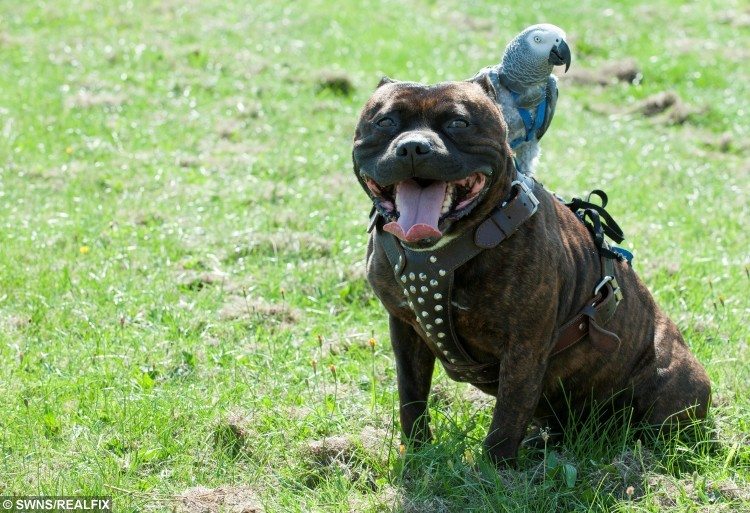 "Bernard Chamberlain, 53, a pet owner from Leicester, has managed to encourage an interesting but unlikely friendship between a male Staffordshire Bull Terrier called Dudley and a parrot named Cracker. The two often take walks around the local area together and there is nothing Cracker likes more than to ride on Dudley's back. See News Team story NTIPARROT: A Staffordshire bull terrier has been dubbed ""pirate dog"" in his local town after forging an inseparable  bond - with a PARROT. Cracker, a nine-year-old African Grey, would get mad at her owner Bernard Chamberlain, 52, when he took his dog Dudley for a walk each morning. So Bernard - known as Bunny - caved into the bird's jealous squawks and decided to let her come along with them one day. Now the exotic parrot is turning heads on the streets of Leicester by hitching a daily ride on the shoulder of the six-year-old pooch."