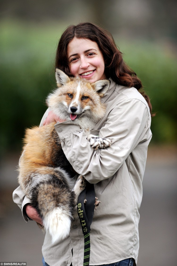 Todd the fox with owner Emma D'Sylva.  A tame fox which was rescued as a baby cub now thinks he is a DOG after being raised like a domestic pet - and even goes for walks on a LEAD.  See NTI story NTIFOX.  Owner Emma D'Sylva, 25, adopted Todd when he was just four-months old and looked after him at her home, which she shares with two other dogs.  And the 11-month-old fox has spent so much time around the other pooches - he has started to behave like them.   Todd goes for walks with Emma's other pet hounds Sky and Oakley causing other dog-walkers to double-take when they spot the fox trotting through the local park.  He also sleeps in a kennel in his enclosure in the garden, plays with dog toys and even wags his tail when it's feeding time.