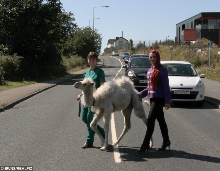 """Pictured - veterinary nurse Samantha Gray with aerial artist Cinzia from Circus Mondao and Kachana the Camel, who had a trip to Norcross vets in Blackpool. See Ross Parry copy RPYCAMEL. This is the hilarious moment a CAMEL checked in for treatment at a stunned vets. Eight-week-old Kachana strolled into Norcross Vets in Blackpool, Lancs., for a health check, much to the amusement of staff. He made sure to make his presence known at the counter before having a nose around the office while he waited to be seen. A spokesman For Norcross Vets said: """"Because he is an orphan, he needs to be checked he is developing properly and putting on weight."""
