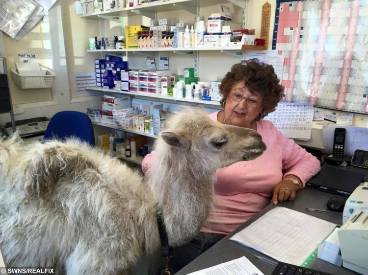 """Pictured - Vet receptionist Dorothy and Kachana the Camel, who had a trip to Norcross vets in Blackpool. See Ross Parry copy RPYCAMEL. This is the hilarious moment a CAMEL checked in for treatment at a stunned vets. Eight-week-old Kachana strolled into Norcross Vets in Blackpool, Lancs., for a health check, much to the amusement of staff. He made sure to make his presence known at the counter before having a nose around the office while he waited to be seen. A spokesman For Norcross Vets said: """"Because he is an orphan, he needs to be checked he is developing properly and putting on weight."""