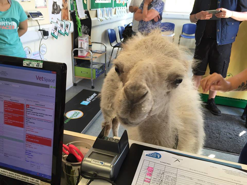 The hilarious moment a camel strolls into the vets for a health check!