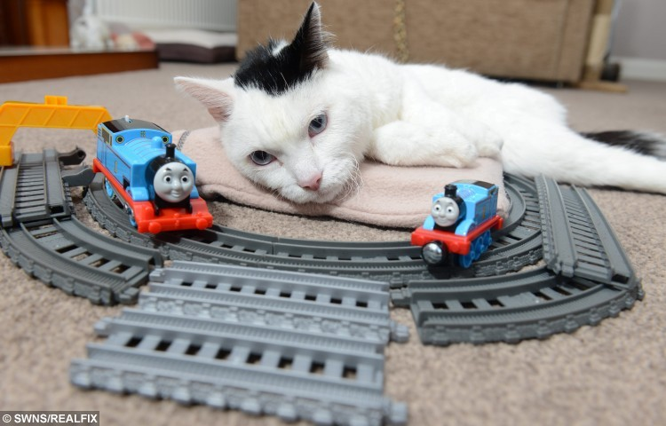 Pictured - Sir Toby Toblerone the cat from Lancaster, Lancs., See Ross Parry Copy RPYCAT : A quadriplegic cat has been honoured as a station mascot due to his undying love of TRAINS. The feline - Sir Toby Toblerone, fondly known as Toby - may have trouble getting around but he loves nothing more than sitting on the platform watching carriages come and go. He starts every morning with an episode of his favourite show 'Thomas The Tank Engine', before heading to the tracks at Lancaster Train Station where he dons his name badge as a fully-fledged member of staff. Thomas Temple/rossparry.co.uk