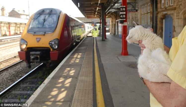 Pictured - Sir Toby Toblerone the cat from Lancaster, Lancs., trainspotting at Lancaster train station. See Ross Parry Copy RPYCAT : A quadriplegic cat has been honoured as a station mascot due to his undying love of TRAINS. The feline - Sir Toby Toblerone, fondly known as Toby - may have trouble getting around but he loves nothing more than sitting on the platform watching carriages come and go. He starts every morning with an episode of his favourite show 'Thomas The Tank Engine', before heading to the tracks at Lancaster Train Station where he dons his name badge as a fully-fledged member of staff. Thomas Temple/rossparry.co.uk
