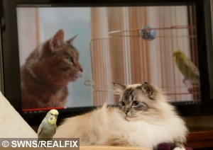 Ragdoll Cat and bird Frankie watching the Budgie and cat Freeview advert