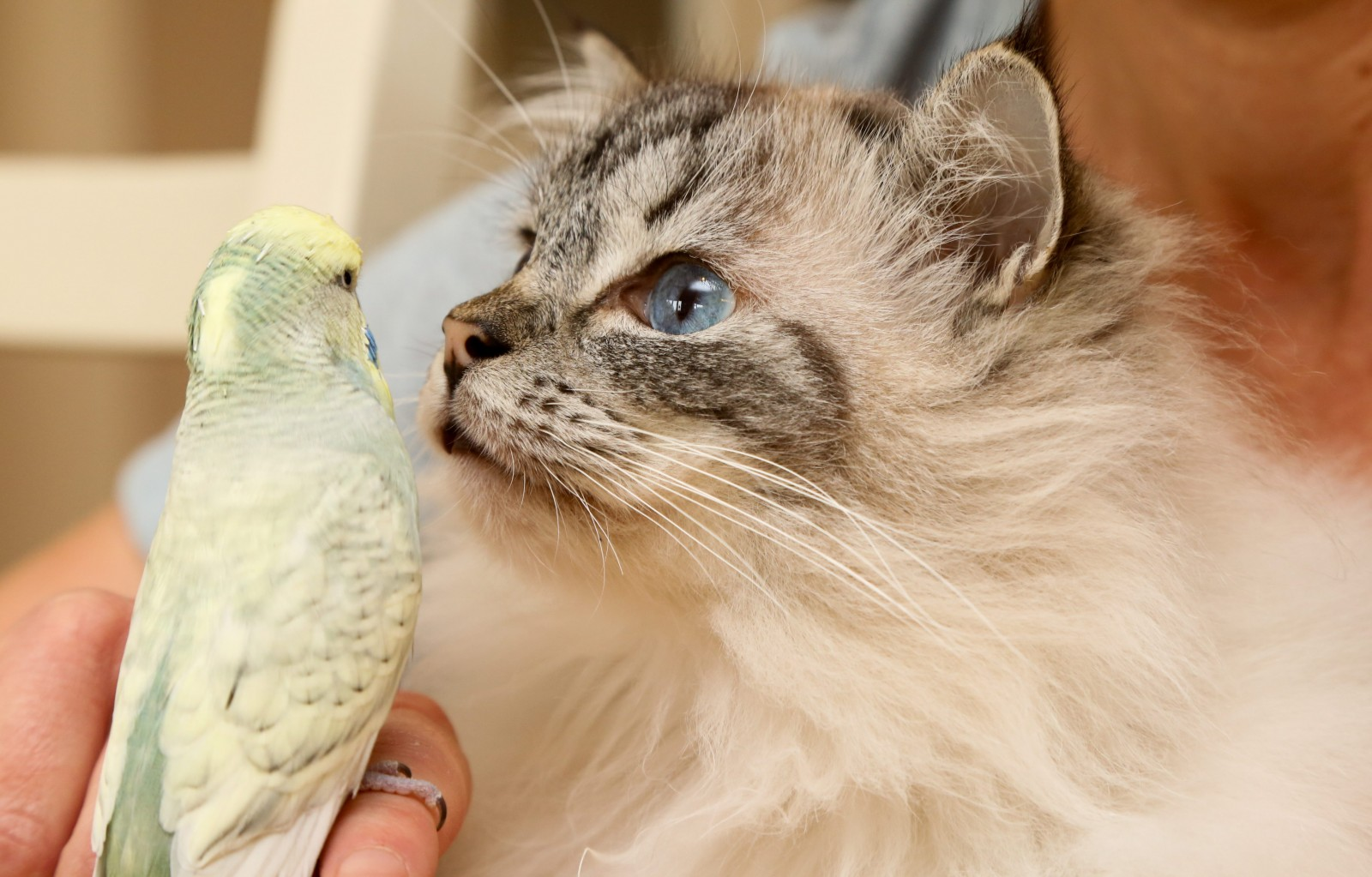 Cat and budgie put aside their differences to become unlikely best friends