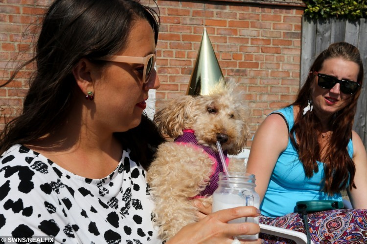 Poogie-Bell and Serena share a milkshake. Over 200 dogs were invited to a tea party at Blonde's cafe in Cottingham organised by owner Willow Boyle. The event raised money for stray dogs by selling dog-friendly chocolate treats were sold. See Ross Parry copy RPYDOGGY : A dog-friendly coffee shop took its love for pooches to another level when it held a special 'doggy tea party'. Willow Boyle, who owns Blondes cafe, hired out a car park at the rear and decked it out with bunting and balloons so the doggies could party in style. The event in Cottingham, East Yorks., boasted specially-made treats for dogs with all kind of tastes including those who prefer gluten free and diary free goodies. Willow said that Blondes is heavily involved with dog rescue centres in Romania after becoming aware of the horrendous treatment that pets can suffer over there.