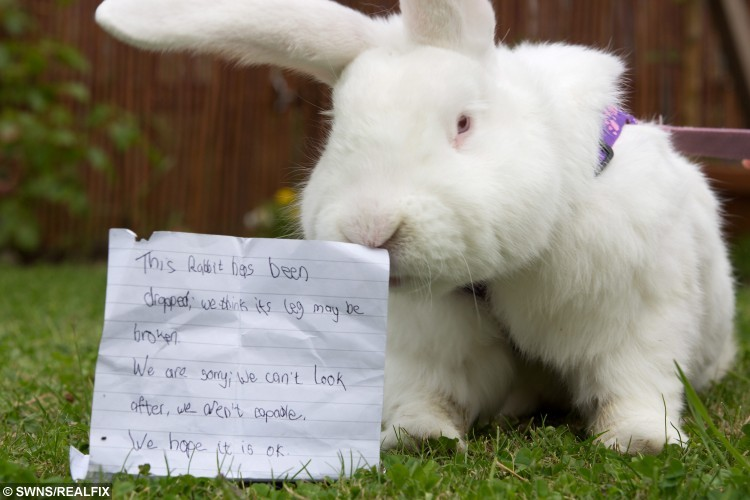 Nivens McTwisp the rabbit, pictured with the note he was left with, at the Blue Cross Centre, in Grimsby, Lincolnshire, on 6 August 2015. See Ross Parry Copy. RPYRABBIT: A crippled bunny bigger than a Yorkshire terrier which was cruelly dumped in a box alongside a childlike note, is hopp-ing to find a new home. The large white rabbit, weighing in at a whopping 5/6kgs???, was handed into an animal hospital after being found huddling in a cardboard box in a busy city centre, with a note claiming the floppy-eared invalid had a broken leg and his owners couldn't afford the vets bills. Nurses at the Blue Cross animal hospital in Grimsby, North East Lincs., were so taken by the lame lapin they nicknamed him Nivens McTwisp - after the white rabbit in the Disney version of Alice in Wonderland. Nivens was left to fend for himself in Grimsby.  rossparry.co.uk/Harry Whitehead
