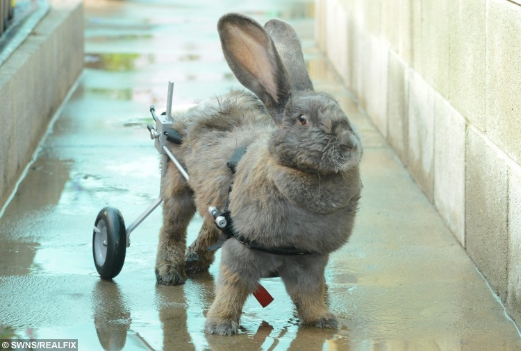 Pictured - Bertha the Rabbit from Silloth, West Cumbria. See Ross Parry Copy RPYRABBIT : A paralysed rabbit is wheely-happy after being given the chance to walk again. Bertha the bunny was left unable to move around her home after her hips collapsed in May.But ignoring vets' advice to put her down, her devoted owner created a specially-designed wheelchair to give her a new lease of life.  Thomas Temple/rossparry.co.uk