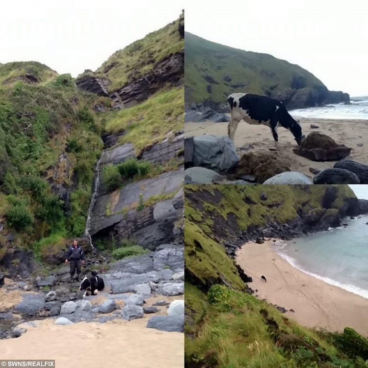 """A dairy cow spent five days having a beach """"holiday"""" after it tumbled more than 60-foot down a cliff and become stuck on the sand below. See SWNS story SWCOW:  Seren, a 14-month old heifer, escaped from a field, along with 29 other cows, and strayed onto a coastal path before falling down a cliff.  Owner, Geraint Griffiths, 57, was forced to look away after seeing the animal hit every rock on it's decent, and assumed that it would have died during the fall.  But the family were stunned when they went to the beach below and discovered Seren, which is Welsh for Star, had only suffered from minor cuts and bruises.  Choppy seas and poor weather conditions meant that a rescue operation was not possible, so the cow was forced to remain on the beach.  Geraint's family and farm workers spent five days visiting Seren, taking food to the cow, keeping her company and checking on her well-being."""