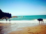 Cow survives a 60ft fall for a moo-arvelous beach holiday!