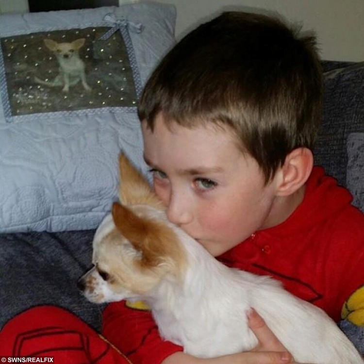 Collect photo of Tommy Jones from Southport, Merseyside, with his dog Bobo. See SWNS story SWCUTE: A disabled boy and his lame puppy are a real pair of superheroes à after they helped each other learn how to WALK. Doctors feared little Tommy Jones, eight, would never be able to walk, after a birth complications left him semi-paralysed. So when his parents Kerry and Mike Jones heard about a Chihuahua puppy who had a badly broken leg, they decided that nurturing the little pup à named Bobo à may help their son deal with his own infirmity. Tommy, who was five at the time, and Bobo soon became best of friends, and miraculously, within weeks of meeting, they both started walking.