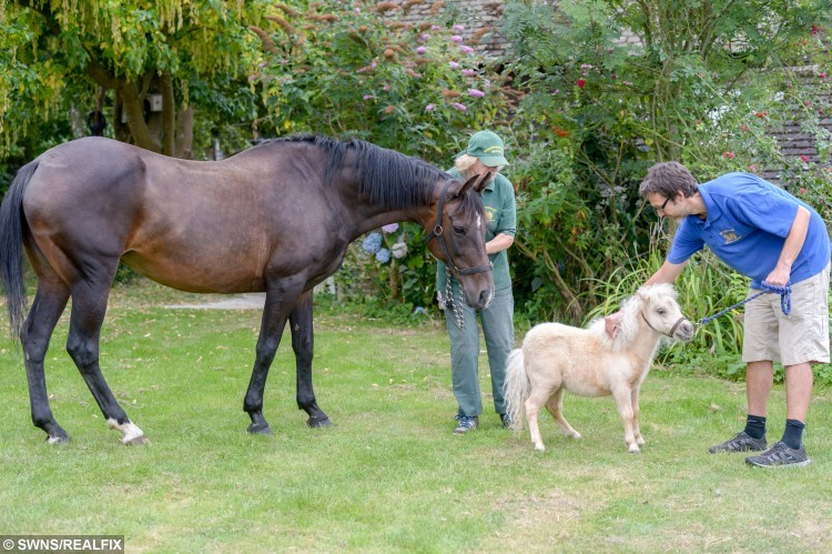 owner Dinty Steains with ex Polo horse Polly and David Christman with Carnival, Battle East Sussex. See SWNS story SWHORSE; A horse rescue centre have taken in their smallest ever guest à a tiny foal the same size as a DOG. Carnival the miniature Shetland Pony stands just 24 inches tall - the same height as two cans of Pringles. The tiny little cream foal was rescued by volunteers at Brownbread Horse Rescue alongside her mum Misty, who is only a few inches taller à because they were being treated as DOGS.