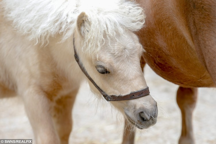 Carnival with mum Misty, Battle East Sussex. See SWNS story SWHORSE; A horse rescue centre have taken in their smallest ever guest à a tiny foal the same size as a DOG. Carnival the miniature Shetland Pony stands just 24 inches tall - the same height as two cans of Pringles. The tiny little cream foal was rescued by volunteers at Brownbread Horse Rescue alongside her mum Misty, who is only a few inches taller à because they were being treated as DOGS.