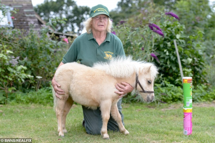 owner Dinty Steains with mini horse  Carnival, Battle East Sussex. See SWNS story SWHORSE; A horse rescue centre have taken in their smallest ever guest à a tiny foal the same size as a DOG. Carnival the miniature Shetland Pony stands just 24 inches tall - the same height as two cans of Pringles. The tiny little cream foal was rescued by volunteers at Brownbread Horse Rescue alongside her mum Misty, who is only a few inches taller à because they were being treated as DOGS.