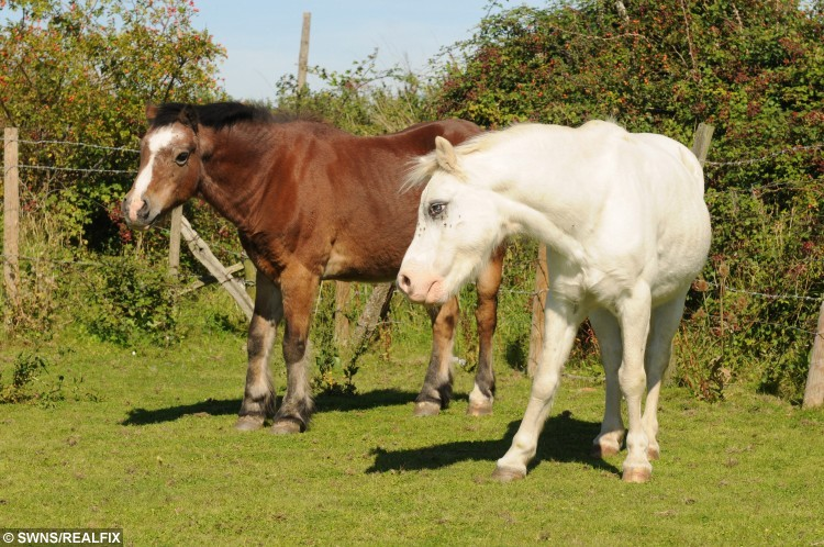 "Two ponies with working eye between them have become inseparable - with one acting as a guide for the other. See Masons story MNBLIND. Pony Peanut,(Brown coat) who only has one eye, has become a full-time carer for fellow nag Bubbles (white coat) who is blind in both eyes. The pair are best friends and share their retirement eating, grazing and keeping each other safe at Anim-Mates Animal Sanctuary in Kent. Peanut, who is 19, arrived six years ago and Bubbles, aged 23, is owned by one of the charity's volunteers Pauline Thompson. The pair have been sharing the same field for two years and Welsh mountain pony Bubbles became more reliant on Peanut when his sight deteriorated to total blindness. Mrs Thompson, who has owned Bubbles since he was three, said: ""He could see when they first got together in the field but we noticed there was someone wrong with his eye and we called the vet in and he told us he had a cataract in one and he was blind in it. ""Later I noticed Bubbles was holding his head to the side a lot and we called the vet back and sadly he told us he now had cataracts in both eyes so was totally blind."" Bubbles spent his working days teaching children to ride, taking part in parades and he won rosettes at shows. Mrs Thompson added: ""He likes living with Peanut and knows exactly where he is."
