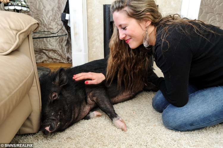 Fella the pig with owner Emily at his home in Soham, Cambs. Real life Babe Fella the pig was rescued from a slaughterhouse and now spends his days going for walks on a lead and he even BARKS along with the other family dogs. See swns story MNPIG. Emily Keates, 25, and her American partner Dustin Graziotti, 28, rescued crossbreed micropig Fella from a meat farm in Essex when he was just three months old. The vegan couple couldn't bear the thought of him being 'turned into sausages' and rescued him, taking the tiny piglet home wrapped in blankets. Next week the pig will celebrate his first birthday, but instead of rolling in mud he is much happier cuddled up on the sofa or going for a morning stroll.