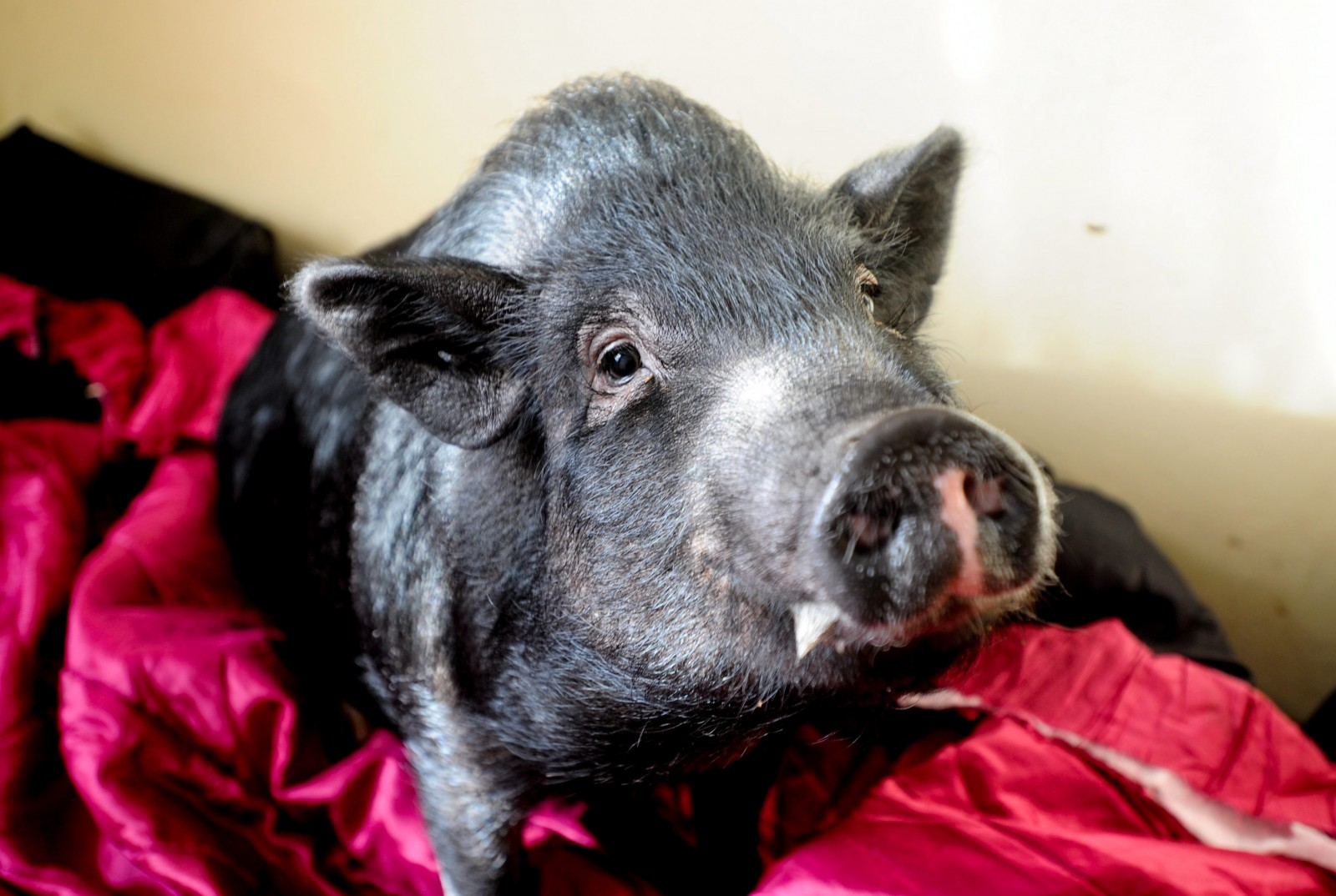 This little piggy DIDN'T go to market – this little piggy found a home (with his own bedroom)