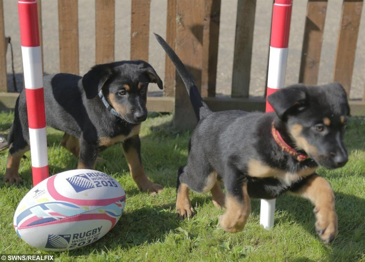 "Pups at the Dogs Trust Harefield, Uxbridge, have been named after England Rugby team players ahead of the world cup. See Ross Parry copy RPYDOGS : An adorable litter for four-legged pups are hoping they have what it takes to score a perfect match and get rehomed with some rugby fans - having being named after members of the England rugby team. Determined to spur on the national team while ""try-ing"" to rehome the pups, staff at Dogs Trust have named a bouncy scrummage of six pups after their English heroes. The eleven week old puppies, including three Lurchers and three German Shepherds, are desperate to be part of a perfect squad. Staff have named the furry, four-legged line up: Doggy May, Sam Furgess, Chris Robpaw, James Haskennel, Joe Launchbury-a-bone and Panthony Watson and they have even been in training for a special pup-by game."
