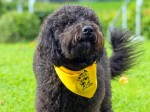Rocco the labradoodle gets full-time job helping students cope with stress