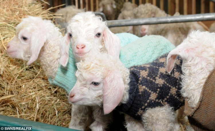 These baby goats have been knitted jumpers to keep them cosy
