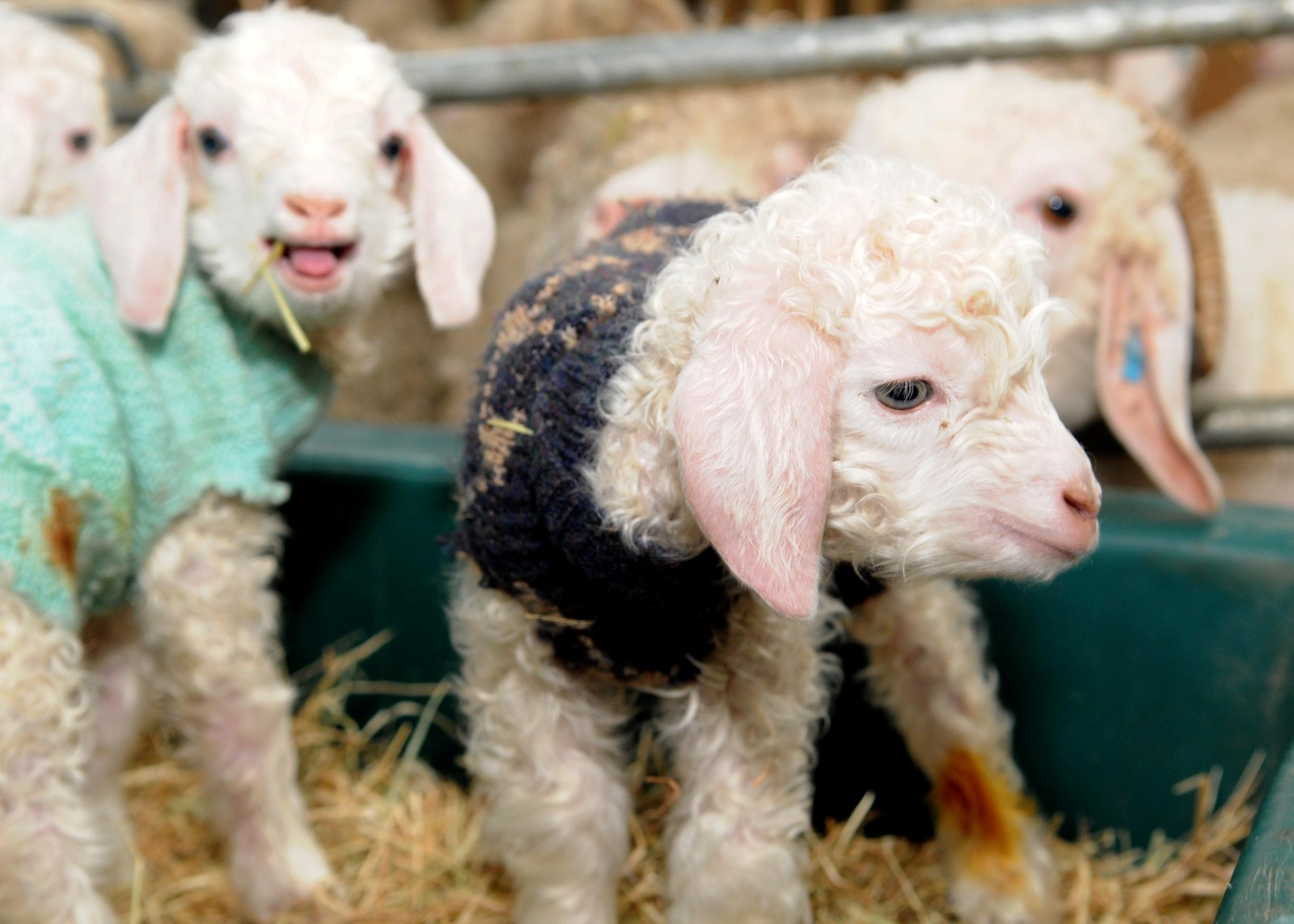 Frilly goats gruff! Baby goats keep warm dressed in woolly JUMPERS