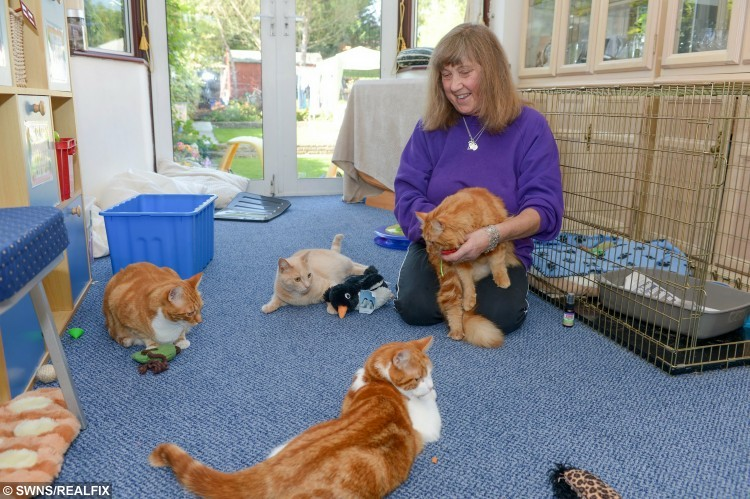 June Fraser, 52, from Worcester Park, south west London who has opened up BritainÃs first sanctuary à for GINGER TOMS.  See SWNS story SWGINGER; June Fraser has had a fondness for ginger cats since her father bought surprised her with one when she was two years old à and now canÃt stop collecting the adorable pets.  For the past two years, she has begun nursing injured cats back to health - because she reckons poor ginger cats are subject to more abuse than others à and now has TEN.  June is not sure why all of her cats have been the subject of abuse, but wondered if it was similar to the treatment ginger children face at school.
