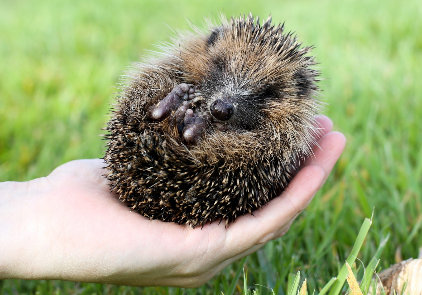 Meet Thumbelina! The rare tiny hedgehog that will never grow any bigger