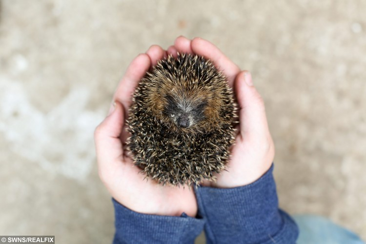 "Alex Farmer with Thumbelina, the hedgehog, at Whitby Wildlife Sanctuary in Whitby, North Yorkshire. 9 September 2015.  The hedgehog has a rare condition which means it stopped growing - and will remain tiny all its adult life. See SWNS story SWHOG; The creature called 'Thumbelina' was rescued along with her family - but cannot be released back in to the wild because of her size.  She weighs just 130g and is less than three inches tall and three inches in length - easily fitting into the palm of a hand.  Her tiny size is down to a very rare condition known as ""failure to thrive"" which means no matter how much she eats she will never grow to the size of an adult."