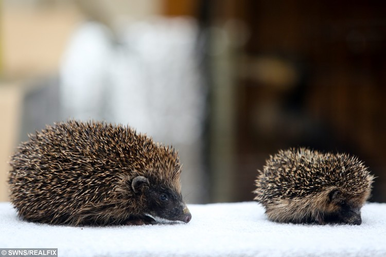 "Thumbelina the hedgehog with her brother from the same litter at Whitby Wildlife Sanctuary in Whitby, North Yorkshire. 9 September 2015.  This adorable hedgehog has a rare condition which means it stopped growing - and will remain tiny all its adult life.  See SWNS story SWHOG; She was rescued along with her family - but cannot be released back in to the wild because of her size.  She weighs just 130g and is less than three inches tall and three inches in length - easily fitting into the palm of a hand.  Her tiny size is down to a very rare condition known as ""failure to thrive"" which means no matter how much she eats she will never grow to the size of an adult."