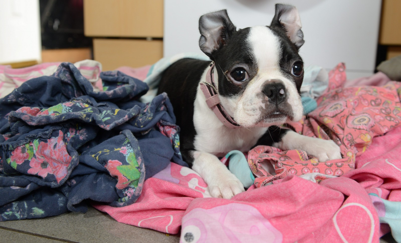 Tiny puppy survives a 30-minute spin in the tumble dryer!